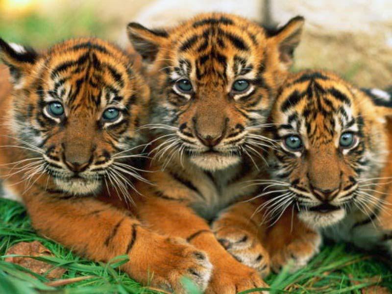 adopt a tiger blurppy