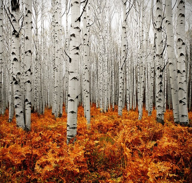 Aspen Forest by Chad Galloway